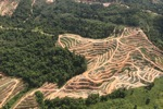 Oil palm plantation -- sabah_0586