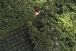 Oil palm plantation -- sabah_0610