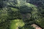 Oil palm plantation -- sabah_0618