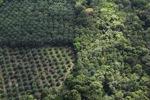 Oil palm plantation -- sabah_0620