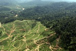 Deforestation for oil palm -- sabah_0727