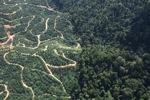 Oil palm plantation -- sabah_0797