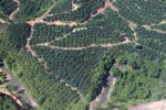 Oil palm plantation -- sabah_0876