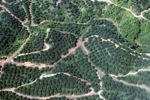 Oil palm plantation -- sabah_0879