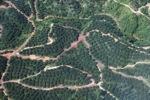Oil palm plantation -- sabah_0880