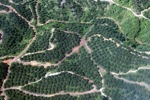 Oil palm plantation -- sabah_0881