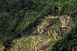 Oil palm plantation -- sabah_0900