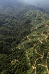 Oil palm plantation -- sabah_0929