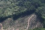Oil palm plantation -- sabah_1026