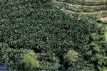 Oil palm plantation -- sabah_1031