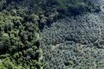 Oil palm plantation -- sabah_1040