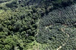 Oil palm plantation -- sabah_1045