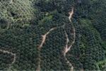 Oil palm plantation -- sabah_1046