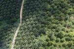 Oil palm plantation -- sabah_1049