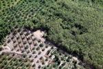 Oil palm plantation -- sabah_1051