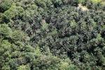 Oil palm plantation -- sabah_1052