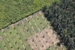 Oil palm plantation -- sabah_1053
