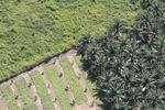 Oil palm plantation -- sabah_1054