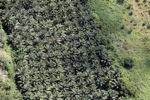 Oil palm plantation -- sabah_1060