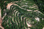 Deforestation for oil palm -- sabah_1118