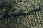 Oil palm plantation -- sabah_1172