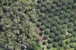 Oil palm plantation -- sabah_1179