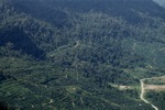Oil palm plantation -- sabah_1292