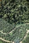 Oil palm plantation -- sabah_1302