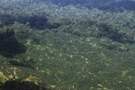 Oil palm plantation -- sabah_1620