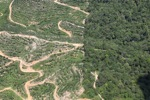 Oil palm plantation -- sabah_1763