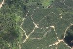 Oil palm estate -- sabah_1812