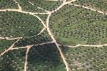Oil palm estate -- sabah_1822