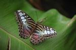 Clipper butterfly (Parthenos sylvia) -- sabah_2557
