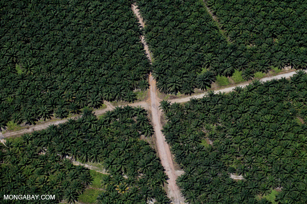 Oil palm plantation in Sabah, Malaysia.