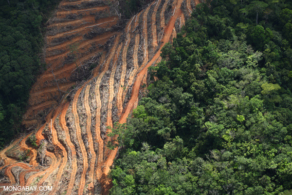 Deforestation of rainforest for oil palm plantations in Malaysian Borneo. Photo by: Rhett A. Butler.