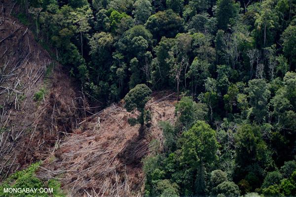 Déforestation d'une plantation d'huile de palme à Bornéo, Malaisie. Photo de Rhett A. Butler