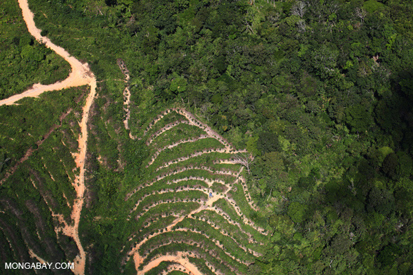 Rainforest destruction for palm oil in Malaysian Borneo.