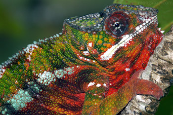 Panther chameleon with 'Christmas' coloration in Maroantsetra, Madagascar