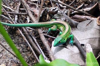 Rainbow Amevia lizard