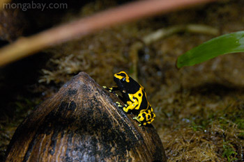 Yellow-Banded Poison Frog from Venezuela