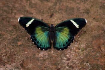 Butterfly in Gabon