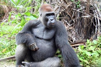 Gorila macho de espalca plateada