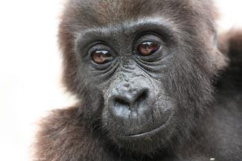 Bebé gorila de tierras bajas