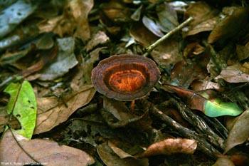 Mushroom in Gabon