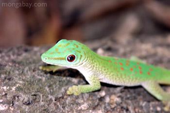 Phelsuma madagascariensis kochi day gecko