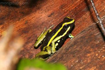 Three-striped Poison dart frog in Peru