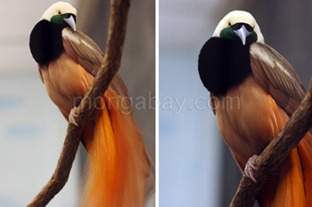 Magnificent Birds-of-paradise