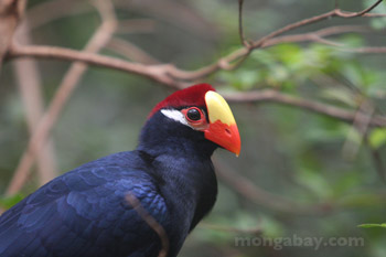 Violet Turaco (Musophaga violacea) of tropical West Africa