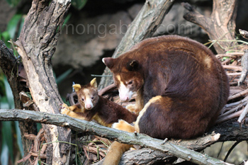 Mother and baby Matschie's Tree-kangaroos