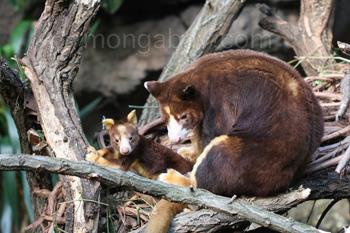 Matschie-Baumkänguruhs: Muttertier mit Baby